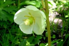 Mayapple plant is a source of Podophyllin Resin.