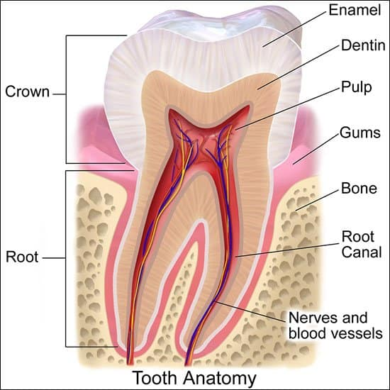 gum problems - tooth anatomy