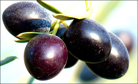 Olives on the tree.