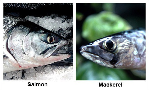 A live salmon and mackerel.