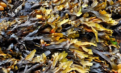 Kelp seaweed just harvested.
