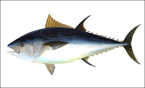 Tuna fish on white background.