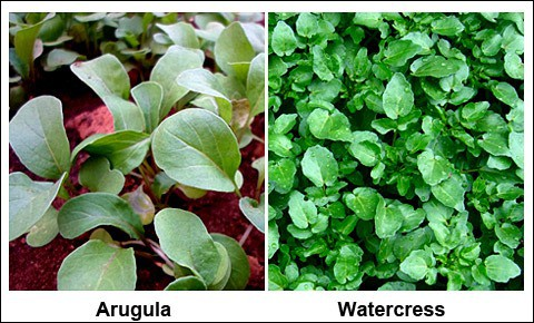 Fresh watercress and arugula.